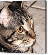Melvin The Wondercat Acrylic Print