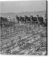 Men And Mules Cultivating Cotton Acrylic Print