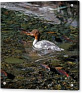 Merganser And Spawning Salmon - Odell Lake Oregon Acrylic Print