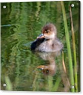Merganser Duckling Acrylic Print