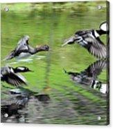 Merganser Reflections Acrylic Print