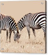Merging Zebra Stripes Acrylic Print