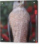 Coopers Hawk I Acrylic Print