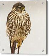 Merlin In A Snow Storm Acrylic Print