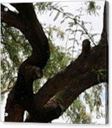 Mesquite Tree Acrylic Print