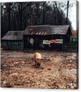 Messy Pig Farm Lot Acrylic Print