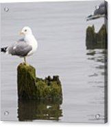 Mew Gull On A Piling Acrylic Print