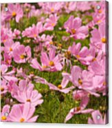 Mexican Aster Flowers 1 Acrylic Print