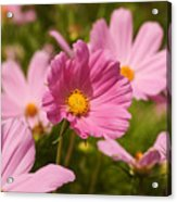 Mexican Aster Flowers 2 Acrylic Print