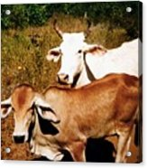 Mexican Cattle Acrylic Print