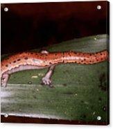 Mexican Palm Salamander Acrylic Print