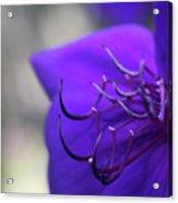 Mexican Petunia Acrylic Print