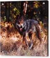 Mexican Red Wolf Acrylic Print
