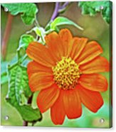 Mexican Sunflower Along White Pine Trail In Kent County, Michigan  Acrylic Print