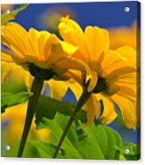 Mexican Sunflower Tree Acrylic Print