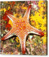 Mexico, Gulf Sea Star Acrylic Print