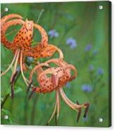 Michigan Lilly Acrylic Print