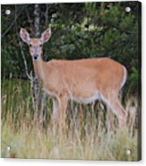 Michigan Whitetail Doe Acrylic Print