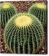 Mickey Mouse Barrel Cactus Acrylic Print