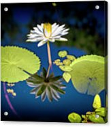 Mid Day Water Lily Reflection Acrylic Print