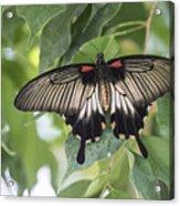 Midland Moth Acrylic Print