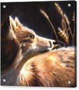 Midnight Fox Acrylic Print