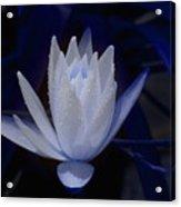 Midnite Lilly Acrylic Print