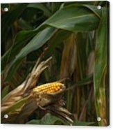 Midwest Harvest Acrylic Print
