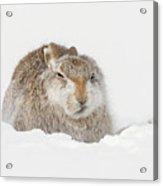 Miffed Mountain Hare Acrylic Print