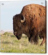 Mighty American Bison Acrylic Print