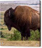 Mighty Bison Acrylic Print
