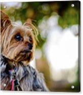 Mighty Dog Acrylic Print