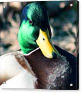 Mighty Duck Acrylic Print