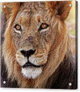 Mighty Lion In South Africa Acrylic Print
