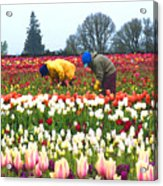 Migrant Workers In The Tulip Fields Acrylic Print