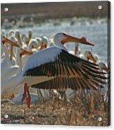 Migrating Pelicans  Acrylic Print