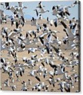 Migrating Snow Geese Acrylic Print