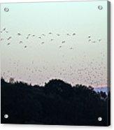 Migration Flyway Acrylic Print