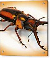 Military Stag Beetle Acrylic Print