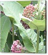Milkweed Barcode No2 08 8 2008 Acrylic Print