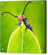 Milkweed Beetle Acrylic Print