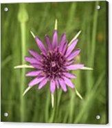 Milkweed Flower Acrylic Print