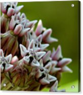 Milkweed Pink Acrylic Print