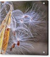 Milkweed Pod And Seeds  Acrylic Print