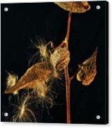 Milkweed Pods Acrylic Print