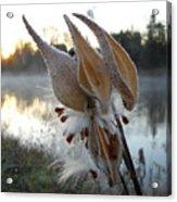 Milkweed Pods Seeds Acrylic Print