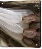 Milkweed Seeds Acrylic Print