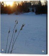 Milkweed Stems Winter Sunrise Acrylic Print