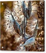 Milkweed Acrylic Print