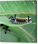 Milkweed Tussock Moth Caterpillar Acrylic Print